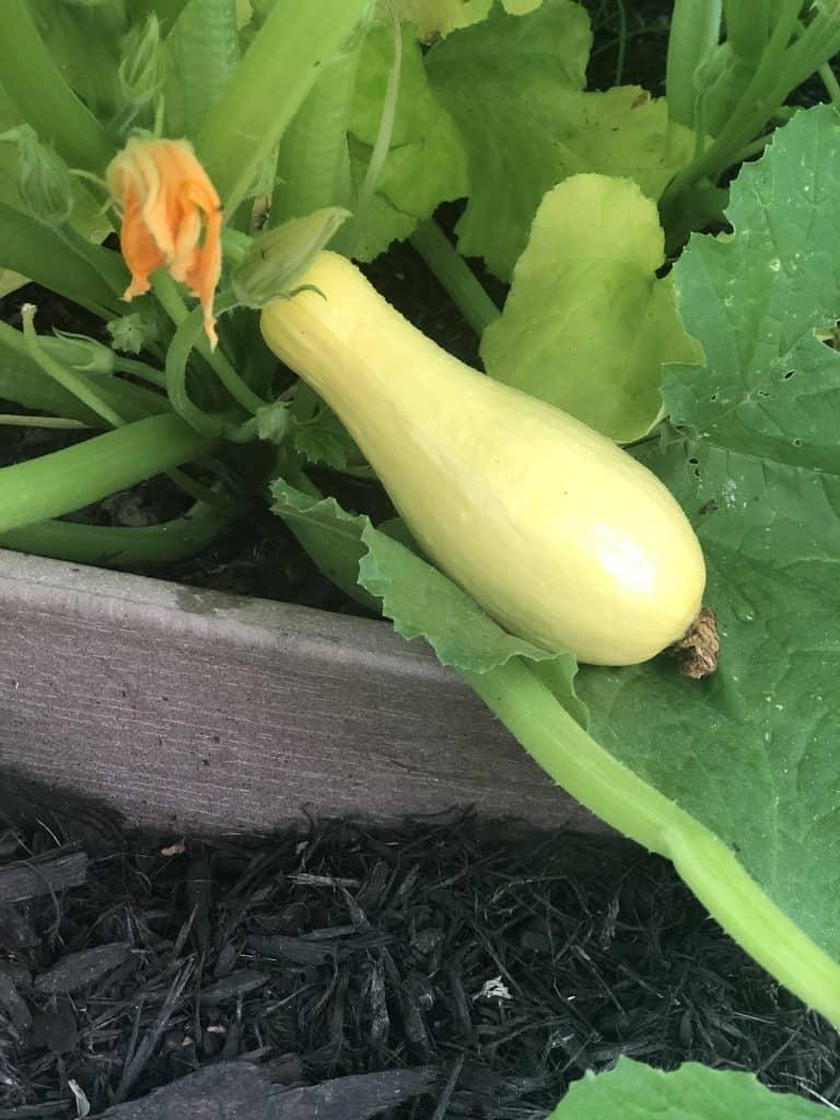 squash growing in garden
